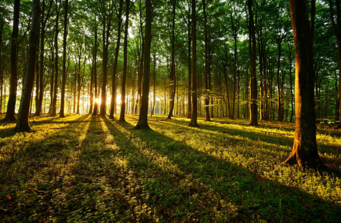 deciduous forest at sunset