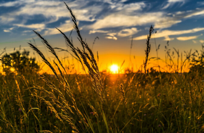 closeup of wheat seed at sunset