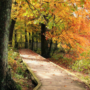 wood plank walkway to river viewing platform through autumn forest