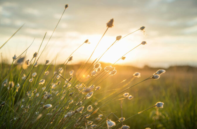 closeup of prairie grass with lens flare at sunset