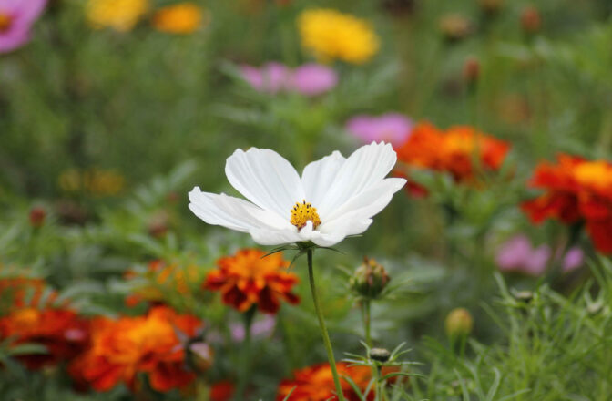 closeup of white cosmos flower amongst red, yellow, and pink flowers